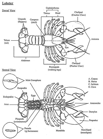 The american lobster anatomy of a lobster diagram ccuart Choice Image